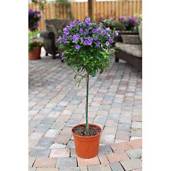"""10"""" Solanum    (Case 3)"""