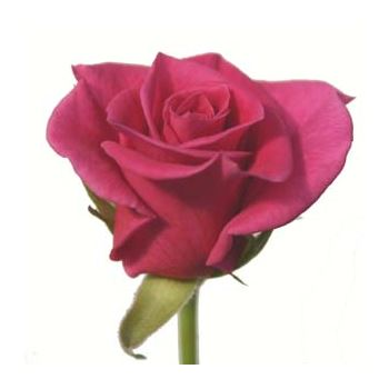 Sweetheart Rose Splendid Surprise (htpk)