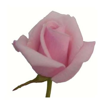 Sweetheart Rose Pink