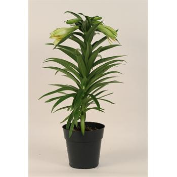 """6"""" Easter Lily   5+ Bloom      (Case 8)"""