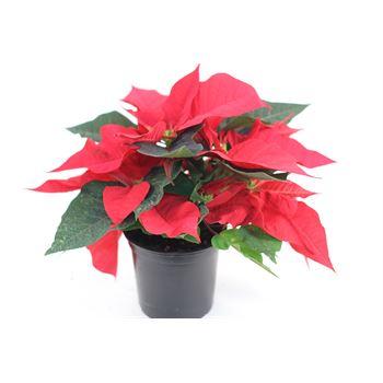 "4.5"" Poinsettia Red      (Case 15)"