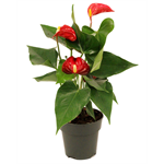 """Additional Images for 4"""" Anthurium       (Case 18)"""