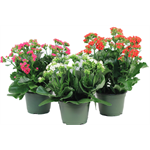 """Additional Images for 6"""" Kalanchoe Assorted (Case 8)"""