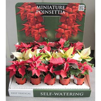 """2.5"""" Poinsettia in Self Watering with Display    (Case 18)"""