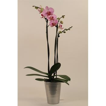 "2.5"" Phalaenopsis Orchids in Ceramic in Display       (Case 18)"
