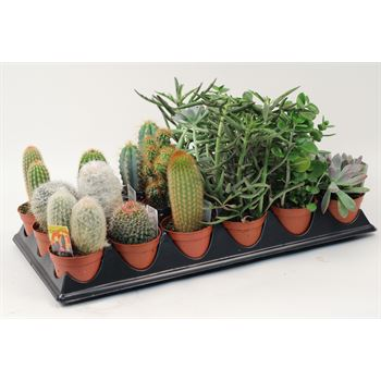 "3.25"" Cacti & Succulents Assorted"
