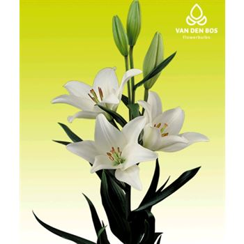 Lily 4 Bloom White