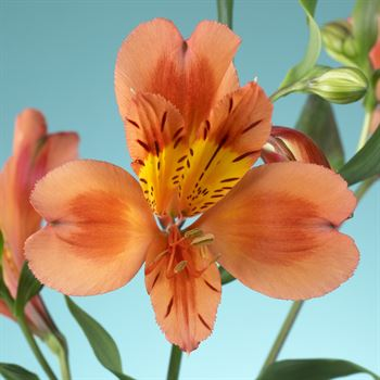 Alstroemeria Select Orange