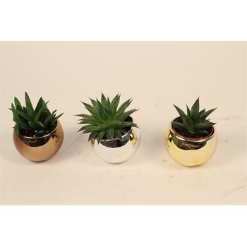 "2.5"" Succulent in Nevada Pot   (Pack  24)"