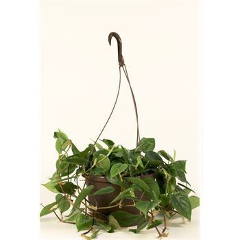 """10"""" HB Philodendron      (Case 4)"""