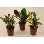 """Additional Images for 3.5"""" Croton Assorted"""