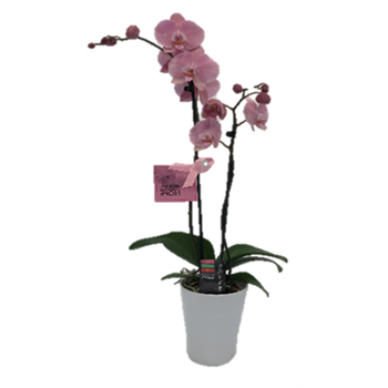 """5"""" Phal Orchid 2 Spike in Pink Ceramic Pot with BCA Tag  (Case 8)"""