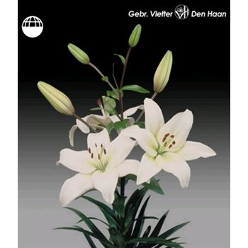 Lily 2-3 Bloom White