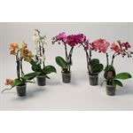 """Additional Images for 2.5"""" Phalaenopsis Orchids        (Case 25)"""