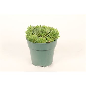 """4"""" Hens and Chicks    (Pack 20)"""