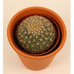 """Additional Images for 4"""" Cactus in Clay              (Case 15)"""