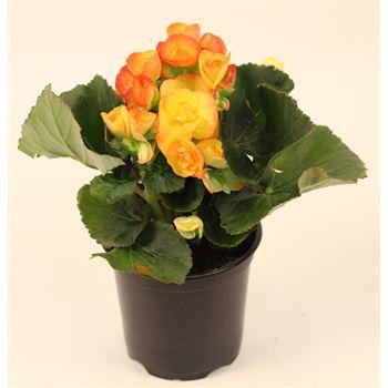 """4.5"""" Begonia Bi-Color (Case 15)"""
