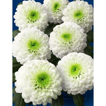 Poms (Cutmums) White Ball