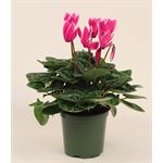 "Additional Images for 4.5"" Cyclamen Bi-Color (Case 15)"