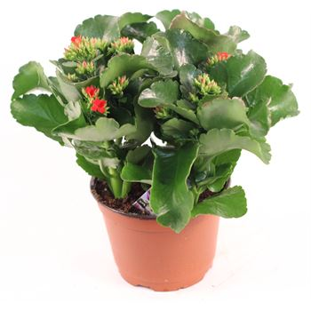 "6"" Kalanchoe Premium Red (Case 8)"