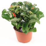 "Additional Images for 6"" Kalanchoe Premium Red (Case 8)"