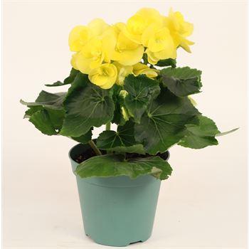 """4.5"""" Begonia Yellow (Case 15)"""