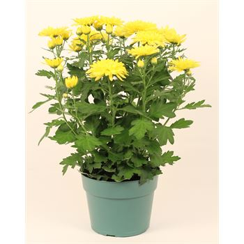 """6"""" Mums Assorted (Case 8)"""