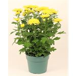 """Additional Images for 6"""" Mums Assorted (Case 8)"""