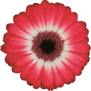 Gerbera Mini Two Tone