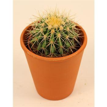 """4"""" Cactus in Clay              (Case 15)"""