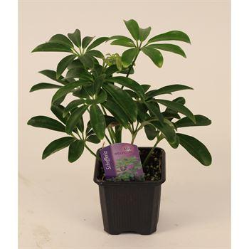"3"" Schefflera Mini Arboricola   (case 32)"