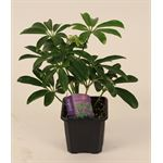 """Additional Images for 3"""" Tropical      (Case 32)"""