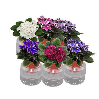 "2.5"" Violets in Self Watering Pot (Case 15)"