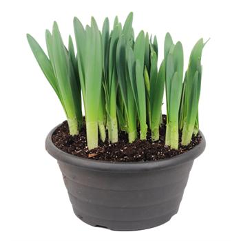 """10"""" Daffodil                 (Case 2)"""