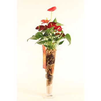 "6"" Anthurium in Glass Vase     (Case 8)"