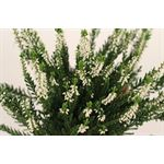 """Additional Images for 4"""" Heather Calluna    """"phyto""""    (Case 18)"""