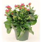 "Additional Images for 6"" Kalanchoe Pink (Case 8)"