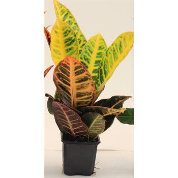 "3"" Croton Norma       (Case 32)"