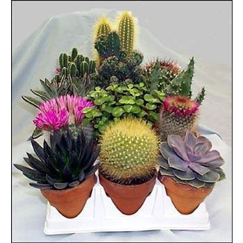 """4"""" Cactus / Succulent in Clay        (Case 15)"""