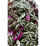 "Additional Images for 6"" HB Wandering Jew  (Case 8)"