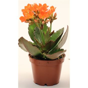 "2.5"" Kalanchoe Orange (Case 28)"