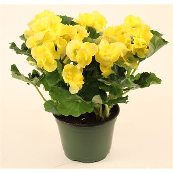 "6"" Begonia Assorted 3ppp (Case 8)"
