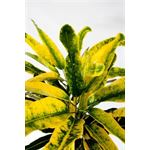 "Additional Images for 3"" Croton Banana (case 32)"