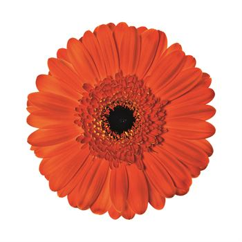 Gerbera Select Barbasona