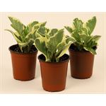 """Additional Images for 3.5"""" Pepperomia Varigated Upright     (Case 18)"""