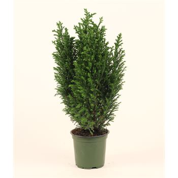 "4"" Cypress    ""phyto""  (Case 18)"