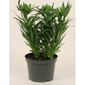 """6"""" Lily Asiatic  (Pixie)     (Case 8)"""