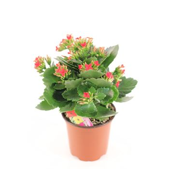 "4"" Kalanchoe Red (Case 18)"