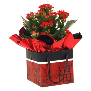"4"" Kalanchoe in Chinese New Year Gift Box   (Case 15)"