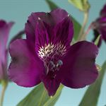 Additional Images for Alstroemeria Select Purple
